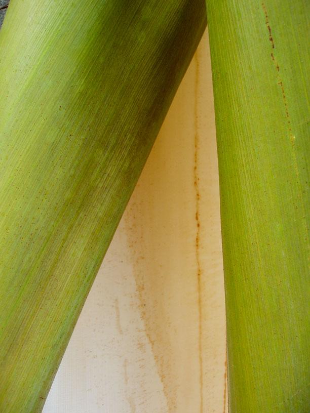 Palm Leaf VI
